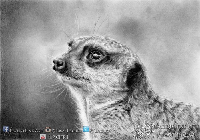 Meerkat in graphite