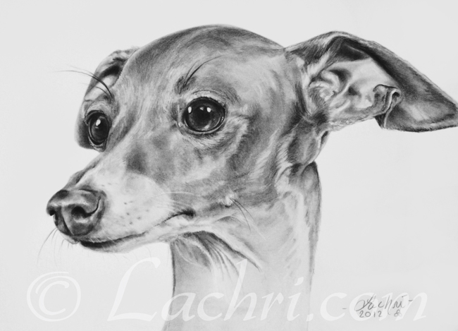 Italian Greyhound drawing in graphite