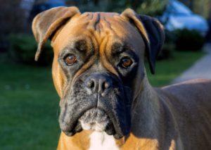 dog-face-861x611