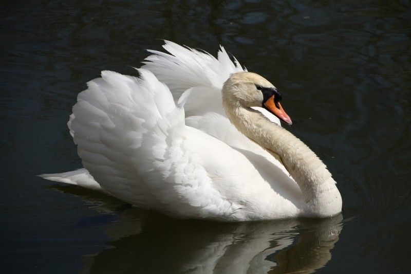 swan-941964_960_720